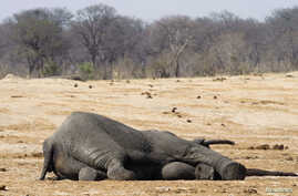 The carcass of an elephant which was killed after drinking poisoned water, lies near a water hole in Zimbabwe's Hwange National Park, about 840 km (522 miles) east of Harare, September 27, 2013. Zimbabwean ivory poachers have killed more than 80 elep