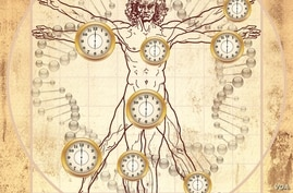 A newly discovered biological clock goes beyond Leonardo de Vinci's image of the ideal man to add time and measures the age of most human tissues, organs and cells throughout the body. (Credit: UCLA/Horvath Lab)