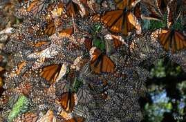 Monarchs cluster together for warmth in a Mexican overwintering site. (Credit: Jaap de Roode)