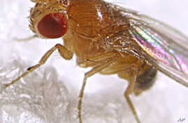 Scientists think fruit flies could help lead to a cure for memory-related diseases.