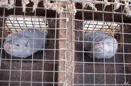 In this Feb. 12, 2013 photo two minks in cages at Bob Zimbal's fur farm in Sheboygan Falls, Wisconsin.
