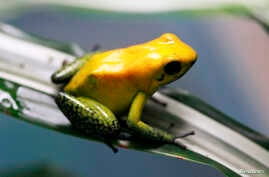 An endangered poison frog (Phyllobates terribilis) is seen at the Santa Fe Zoo in Medellin, Colombia, Jan. 15, 2013.