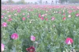 Afghanistan Continues to Be Hub of Poppy Cultivation