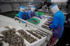 Workers size shrimps at Thai Union factory in Samut Sakhon, Thailand, Aug. 23, 2016.
