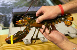 FILE - A lobster is pulled from a crate in Kennebunkport, Maine.