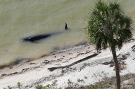 A dead pilot whale lies near the beach in a remote area of Florida's Everglades National Park, Dec. 4, 2013.