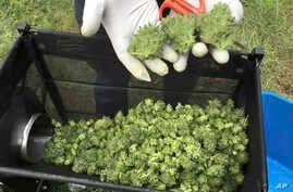 FILE - A marijuana harvester examines buds going through a trimming machine near Corvallis, Ore., Sept. 30, 2016. Three years after Oregon lawmakers created the state's new legal marijuana program, marijuana prices in the state are in free fall and t