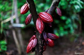 A cocoa tree with cocoa fruits is seen at El Carmen Estate in Jayaque, El Salvador July 20, 2016.