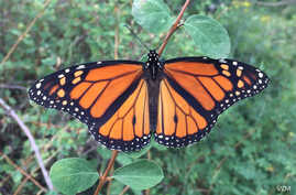 Geotagged photos uploaded by citizen scientists using the iNaturalist app have been used in studies on monarch butterflies, among others. (Robb Hannawacker / iNaturalist)