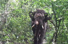 An elephant roams through the jungle at a wildlife sanctuary in Myanmar's northern Karen state. At least 17 of the 31 species found there are considered near threatened, vulnerable or endangered, a study has found. (Photo - Karen Wildlife Conservatio