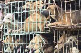 Pedigreed Pet or Party Food? Vietnam's Taste for Canine on