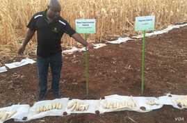 New experimental hybrid maize on display at a maize field in Harare, Zimbabwe, Oct. 24, 2016.  Scientists in Zimbabwe say they have developed new heat and drought-tolerant varieties of maize that may be ready for sale ahead of the next planting seaso