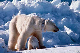 Cutting Greenhouse Gases Could Avert Polar Bear Extinction