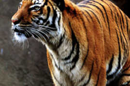 There are only 3,200 tigers left in the wild, down from 100,000 a century ago.