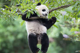 FILE - panda cub Bao Bao hangs from a tree in her habitat at the National Zoo in Washington.
