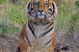 Indian Authorities Relocate Village to Protect Tigers
