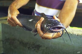 FILE - A catfish in Kentucky.