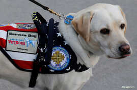 FILE - Sully, the yellow Labrador retriever service dog of late former U.S. President George H.W. Bush, arrives at Joint Base Andrews in Maryland, U.S.