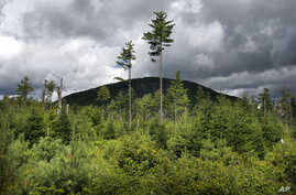 FILE - A forest grows back beneath a few uncut white pines near Soubunge Mountain in northern Maine, Aug. 5, 2015.