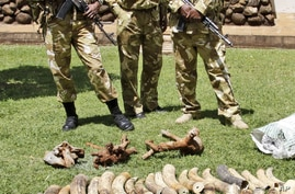 Kenyan Wildlife wardens keep a watch on confiscated elephant tusks at the Kenyan wildlife offices in Nairobi, Kenya, January 16, 2013.