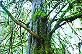 The drug Taxol, made from the bark of the Pacific yew, helps fight breast and ovarian cancers.