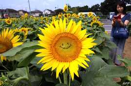 """A general view shows a """"smiling"""" sunflower in a field in Tokyo on July 30, 2015. Some 20,000 sunflowers were enjoyed by visitors to the area."""