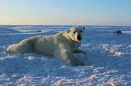 FILE - This U.S. Geological Survey photo shows a polar bear wearing a GPS video-camera collar on a chunk of ice in the Beaufort Sea, April 15, 2015. Kaktovik, a tiny Alaska Native village, has experienced a boom in tourism in recent years as polar be