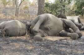 Elephants were killed by poarchers at Bouba Ndjidda National Park in northern Cameroon, near the border with Chad, Feb. 23, 2012.
