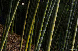 FILE - A bamboo forest is pictured near Kyoto, Japan, Dec. 1, 2014.