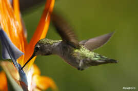FILE - An Anna's Hummingbird (Calypte anna) feeds on a Bird of Paradise plant along a canyon in Encinitas, California, Sept. 12, 2007.