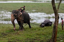 An Indian forest official rides an elephant and pulls the carcass of a female one-horned rhino killed in the recent flood situation in northeastern state of Assam, at Pobitora Wildlife Sanctuary, about 55 kilometers (34 miles) east of Gauhati, India,