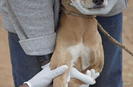 A dog is vaccinated against rabies. (Courtesy/Serengeti Carnivore Disease Project)