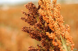Researchers applied a drought stress to hundreds of different varieties of sorghum plants to test whether genomic analysis could help predict what varieties would continue to thrive under drought, and they cataloged the findings in a database.