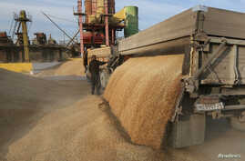 A driver unloads wheat grains from a truck on a drying complex at the Solgonskoye farming company in the village of Solgon, southwest from Krasnoyarsk, Russia, Sept. 6, 2014.