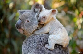 This undated handout from the Australia Zoo received on August 22, 2017 shows a white koala joey on her mother Tia at the Australia Zoo on Queensland's Sunshine Coast.