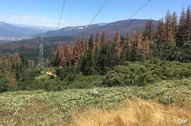 FILE - This photo shows patches of dead and dying trees near Cressman, Calif., June 6, 2016.