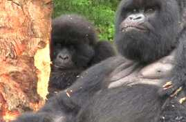 Rwanda's Mountain Gorillas Making Comeback