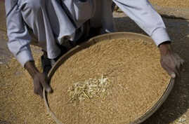 ** FILE ** In this May 5, 2008 file picture a Pakistani laborer sieves the wheat during the wheat harvest on the outskirt of Lahore, Pakistan. World food production must rise by 50 percent by 2030 to meet increasing demand, U.N. chief Ban Ki-moon tol
