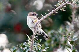 FILE - A warbler is seen sitting on a branch during a bird count on the Gulf Coast in Grand Isle, Louisiana.