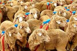 Each sheep in the experiment was fitted with a small blue backpack with a Global Positioning Device (Photo: A. J. Morton).
