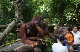 At the Singapore Zoo during its daily 'Jungle Breakfast event (John Beckman/Chicago visitor)