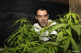 Marijuana grower and activist Juan Vaz checks marijuana plants in Montevideo, Uruguay, Aug. 9, 2012.