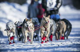 Kristy Berington's dogs cool off with their tongues out during the official restart of the Iditarod dog sled race in Willow, Alaska, March 2, 2014.