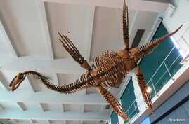 """FILE - A replica of the Plesiosaur """"Tuarangisaurus Cabazai"""" made from polyurethane foam is pictured on display at the Argentine Natural Sciences Museum in Buenos Aires, July 1, 2013."""