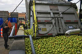 Mike McCutcheon offloads thousands of kilograms of apples at the family cider factory in Frederick, Maryland, Nov. 1, 2016. (V. Macchi/VOA)