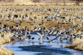 FILE - Migrating sandhill cranes collect at a pond near Newark, Neb., March 15, 2018.