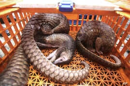 Indonesia Pangolins