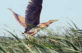 Marsh birds like this American bittern have made their nests in restored wetlands