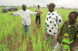 Mamady Douno, a rice farmer, shows technical assistants his crop of a new rice variety near Maferenya, Guinea in this Aug. 19, 2002 photo.