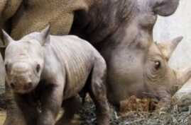 Africa's Western Black Rhino Declared Extinct